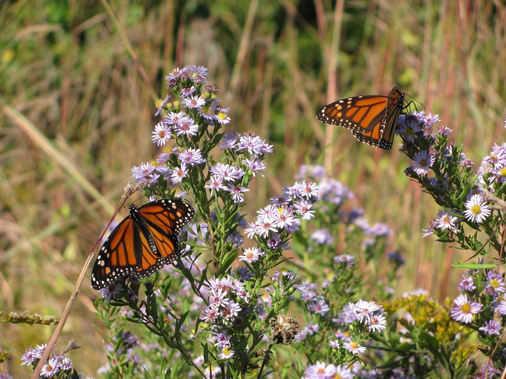 Monarch butterflies on purple flowers.