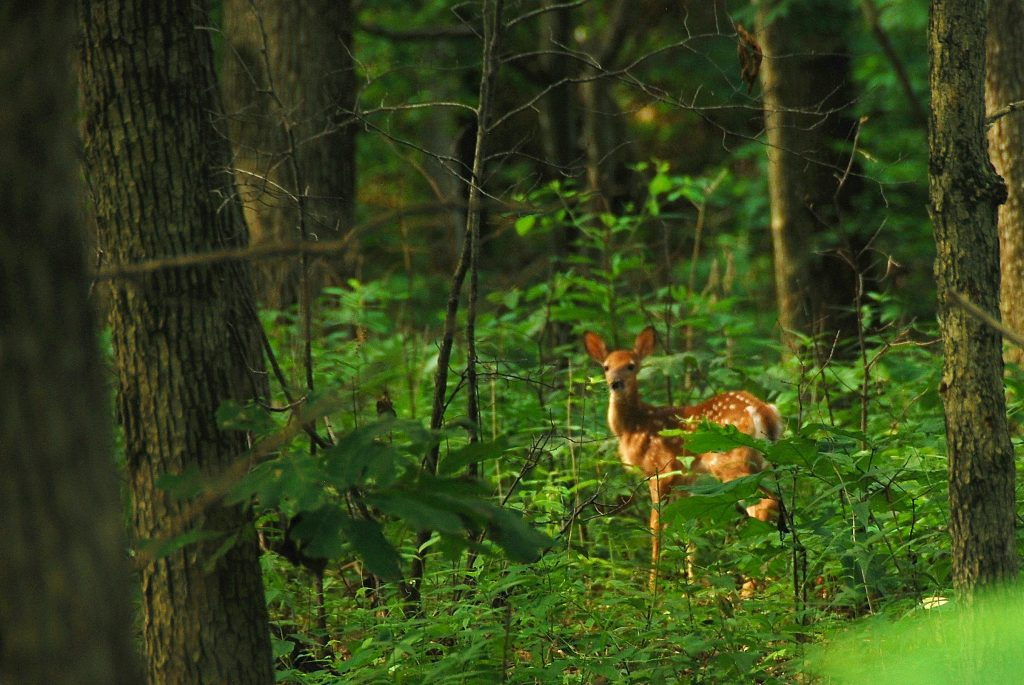 Fawn in the woods.